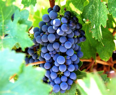 Do You To Use Organic Grapes For A Detox by The Organic Center Organic Grape Juice Has Higher