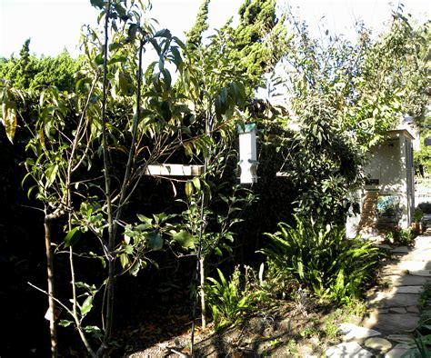 fruit tree garden fruit and veggies in a southern california garden in