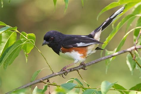 the birds and the eastern towhee audubon field guide