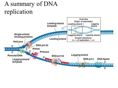 what acts as the template in dna replication chapter 13 dna replication ppt