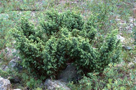 alpine juniper juniperus communis