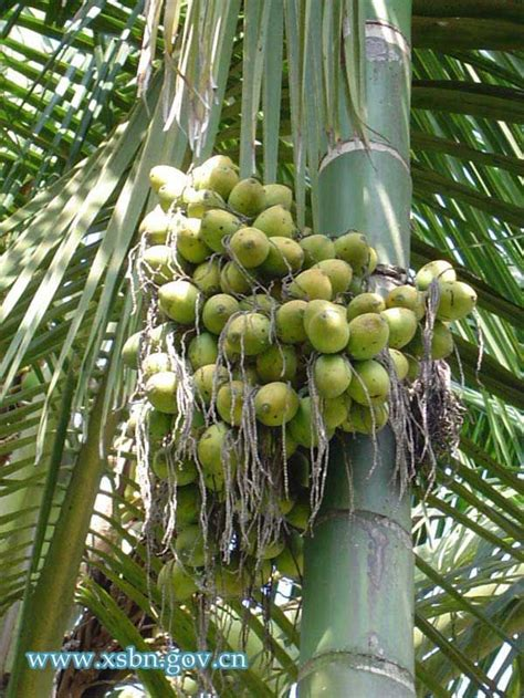 S Home Decor Houston by Betel Nut Palm Tree Fruitveggies Amp Spicy On Planet