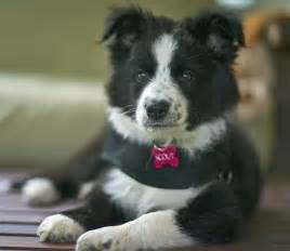 Scout the border collie mix puppies daily puppy
