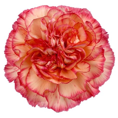 orange viana standard carnation carnations flowers