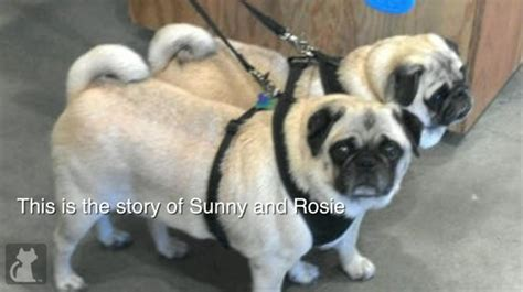the pet collective pugs obese pugs relinquished by owner find a new healthy home huffpost