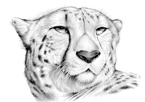 cheetah by gregchapin on deviantart