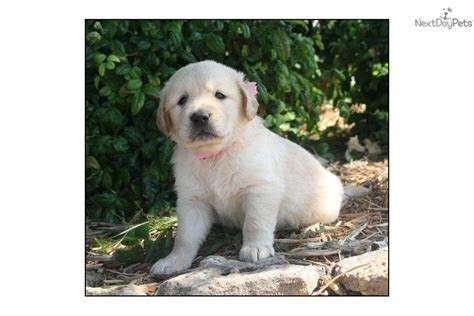 golden retriever puppy temperament meet sold a golden retriever puppy for sale for 500 outstanding conformation