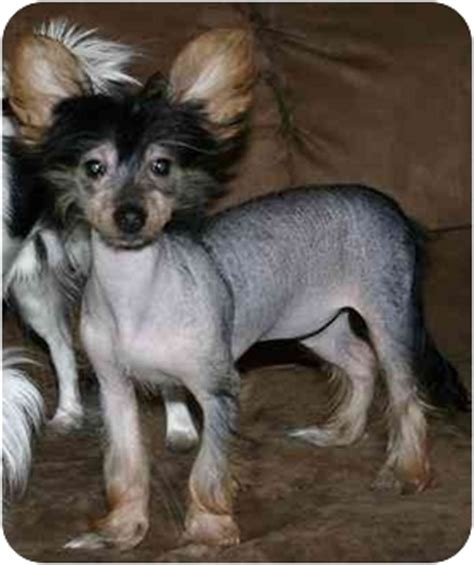 crested yorkie mix adopted puppy house springs mo crested yorkie terrier mix