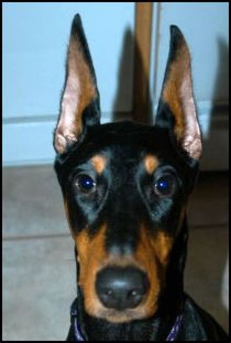 doberman puppy cropped ears doberman pinscher cropped ears breeds picture