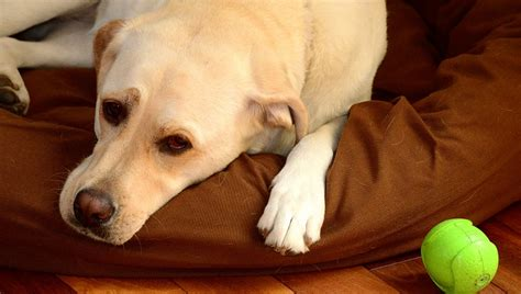 amitriptyline for dogs amitriptyline for dogs uses dosage and side effects dogtime