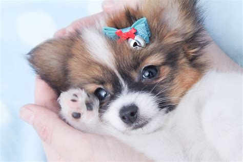 puppies for sale in dc papillon puppies for sale in de md ny nj philly dc and baltimore breeds picture