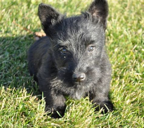 scottish terrier puppies price scottish terrier puppies for sale in winkler manitoba your pet for sale