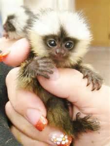 baby marmoset monkeys for sale baby animals pinterest