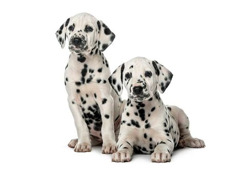 puppy dalmatian dalmatian puppies for sale akc puppyfinder