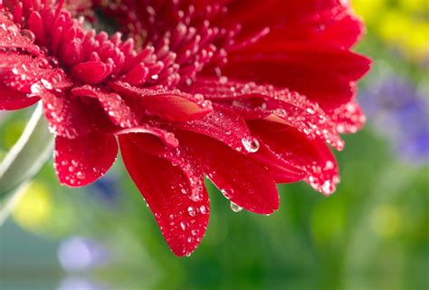 Cincin Water Drop Flower gerbera up flower water drops wallpaper 4000x2701 633112 wallpaperup