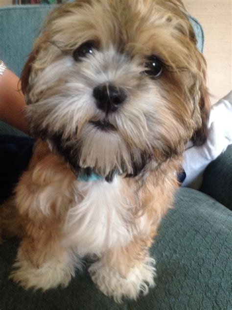 yorkie poo shih tzu mix poodle yorkie shih tzu mix www imgkid the image kid has it