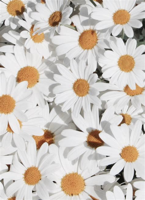 tumblr wallpapers daisies daisy flowers iphone wallpaper tumblr