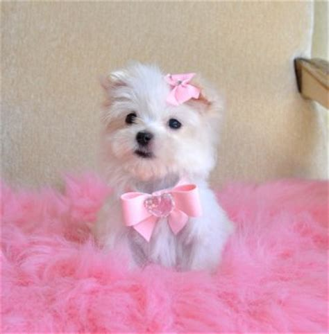 teacup pomeranian puppies for sale in mn teacup puppies for sale florida puppies for sale ta puppies for sale orlando