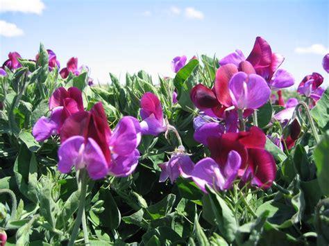 fiore pisello pisello odoroso lathyrus odoratus piante annuali