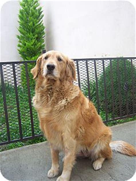 golden retriever adoption san diego adopted 4paws goldenretadultf san diego ca golden retriever