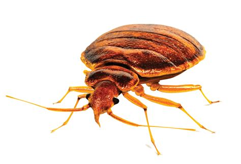 bed bug exterminators bed bug exterminator service in nyc bed bug removal
