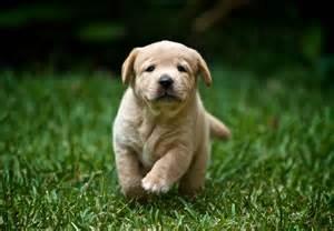 Lab Puppies Labrador Retriever Puppies For Sale Akc Puppyfinder