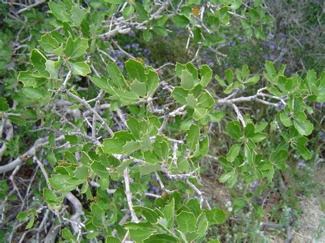file leaves of california scrub oak jpg wikipedia