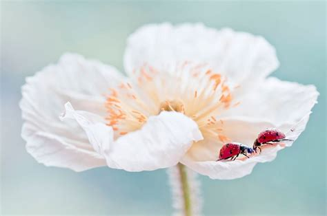 white poppy where can i buy a white poppy and what do they stand for