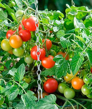 Planter Size For Tomatoes by 17 Best Ideas About Cherry Tomato Plant On