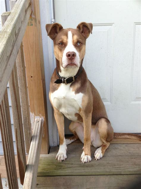 pitbull mix learn about the pitbull husky mix a k a the pitsky dogable