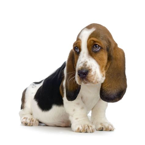 pictures of basset hound puppies basset hound puppies pictures diet facts habitat behavior animals adda