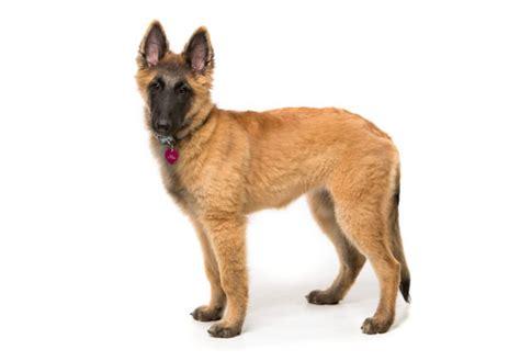 tervuren puppy 56 best images about belgian tervuren on beautiful dogs westminster
