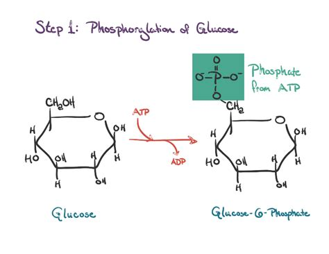diagram of glycolysis diagram showing glycolysis gallery how to guide and refrence