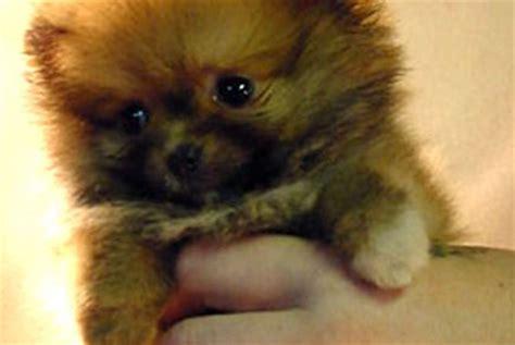 puppies for sale in manhattan munchkin kittens for sale in manhattan manhattan puppies pets world