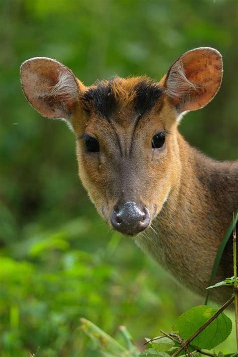 animals  india  barking deer  deer  tusks walk  wilderness