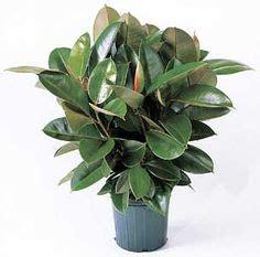 mass cane images indoor plants plants indoor