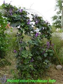 purple hyacinth bean vine flowering vines picket fence