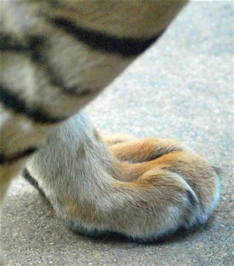 tiger foot: pete st: galleries: digital photography review