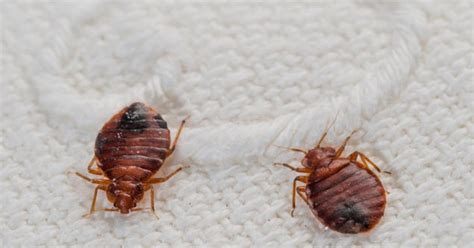 chicago is the top city for bedbugs ny daily news