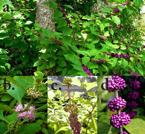 florida flowering shrubs bushes florida plants nursery