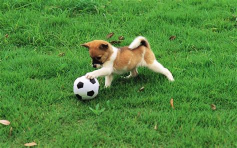 to play with puppy with soccer dogs picture