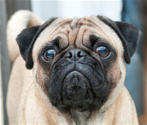 pug skin infection skin fold dermatitis
