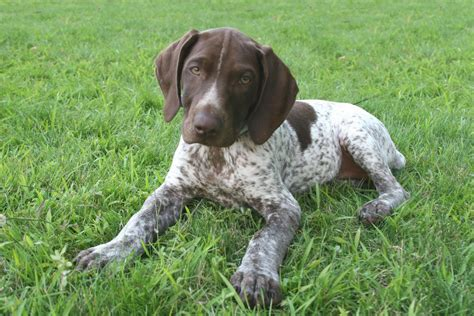 german shorthair pointer puppies german shorthaired pointer my rocks