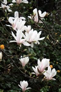 White Magnolia Flowers - white magnolia tree viewing gallery