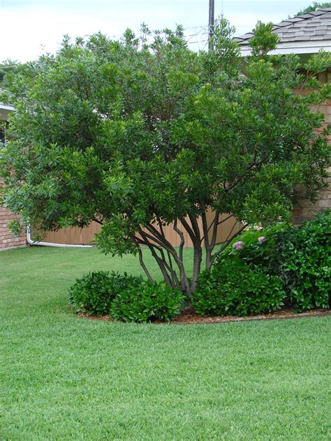 small tree wax myrtle treed trees small or shrubs zone 9