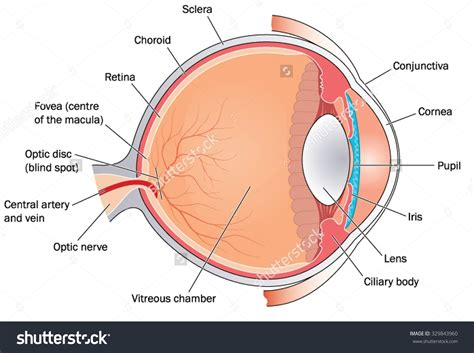 eye diagram eye diagram conjunctiva gallery how to guide and refrence