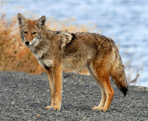 facts about coyotes for kids coyotes canis latrans