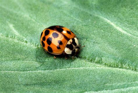 asian beetle file asian multicolored beetle jpg wikimedia commons