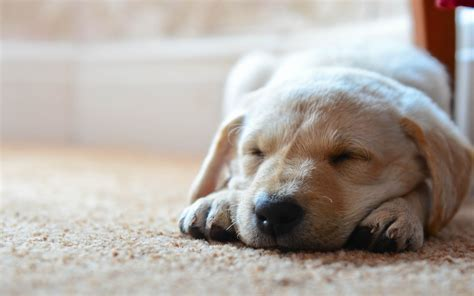 puppy sleeping dogs sleeping wallpaper high definition high quality widescreen