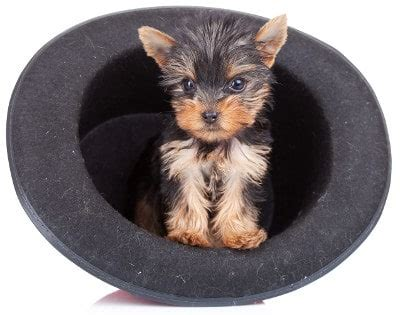 what is the expectancy of a yorkie teacup yorkie the pocket sized terrier